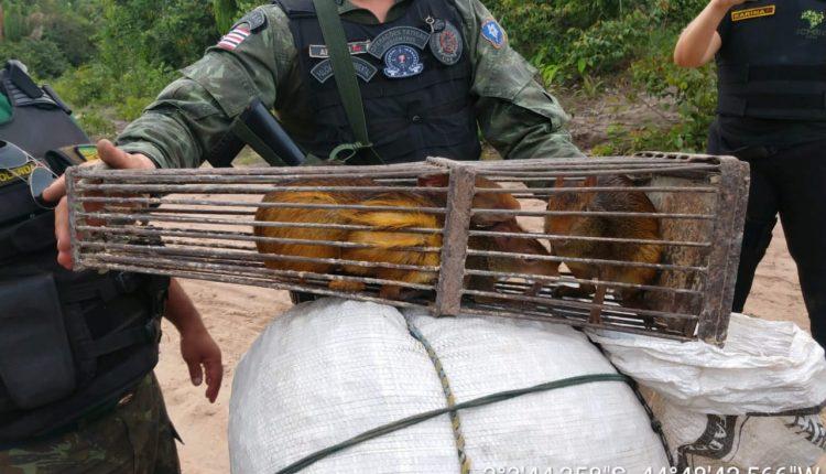 Polícia Militar Ambiental resgata animais silvestres e apreende armas de fogo em Mirinzal