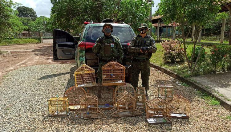 PMMA apreende pássaros silvestres na região metropolitana de São Luís-MA